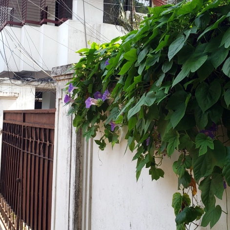 Morning Glory Vines - Wall - Gate