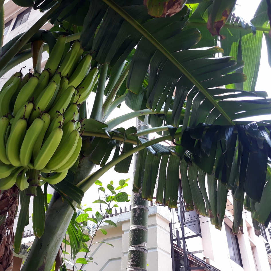 Streetside Banana Tree