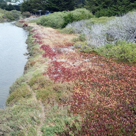 Bodega Wetlands & Ice Plants 1
