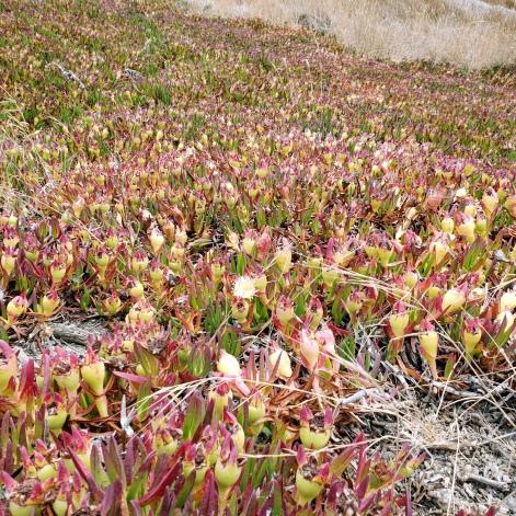 Doran Park Ice Plants 1