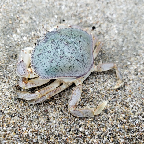 Pinnacle Beach Crab 1