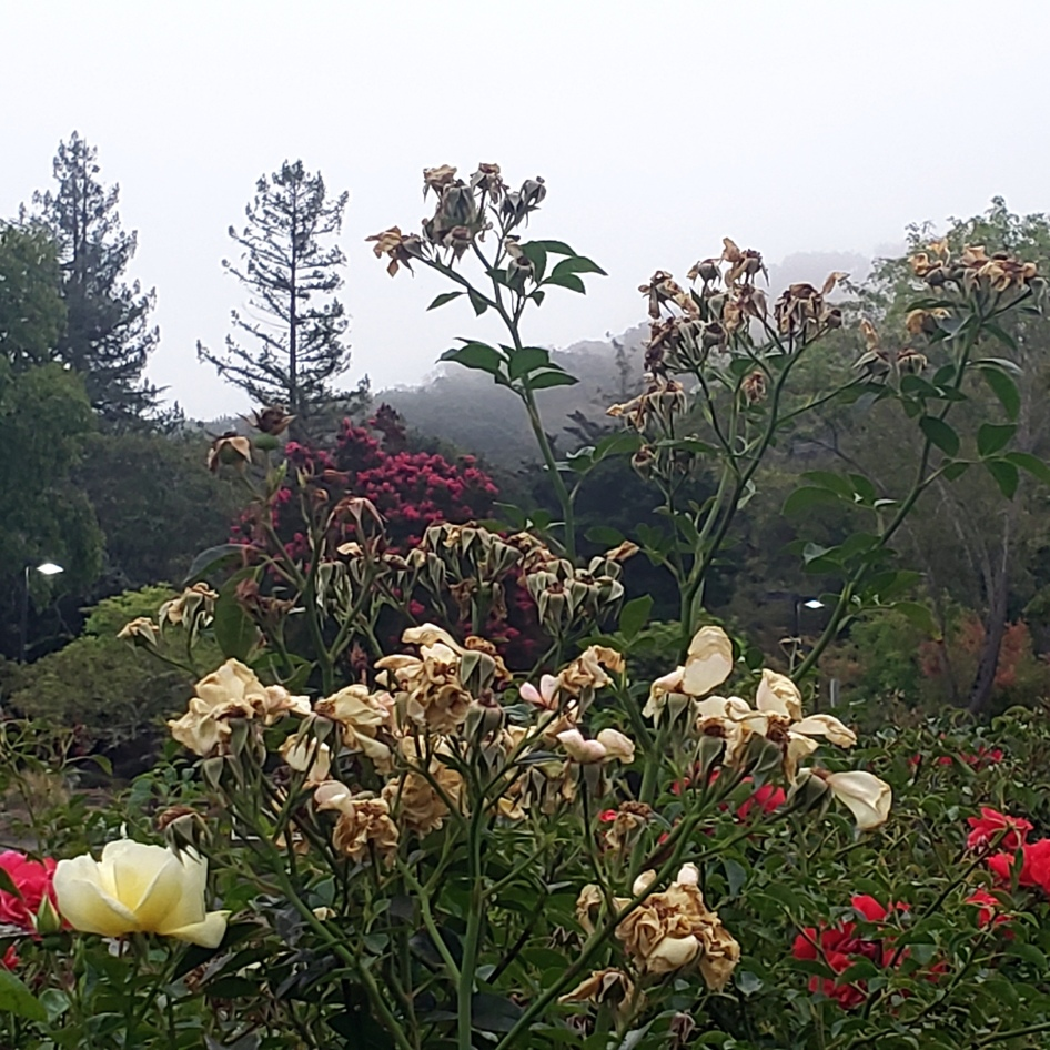 Roses & Fog-Shrouded Hillside