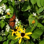Monarch At Rest1