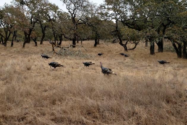 20201108 Turkeys in Annadel 3