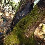 20201114 Annadel Burned Mossy Trunk 2 –Nunns
