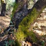 20201114 Annadel Burned Mossy Trunk 3 –Nunns