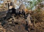 20201121 Sugarloaf Uprooted BurnedTrunk