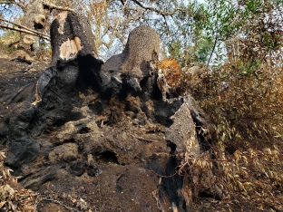 20201121 Sugarloaf Uprooted Burned Trunk