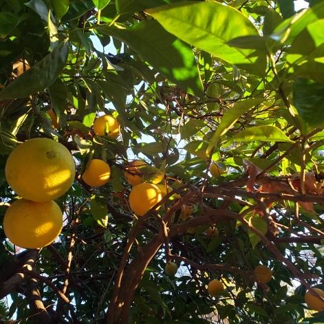 Lemons at Sunsetin Healdsburg