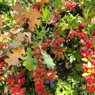 Seasonal Berries & Oak Leaves 2