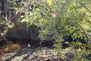 Snowy Egret SR Creek 1