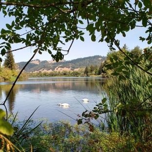 Spring Lake Swans 3