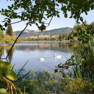 Spring Lake Swans 4