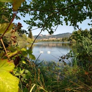 Spring Lake Swans 6