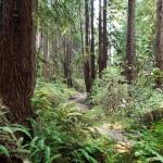 Streambed through Ferns &Trees