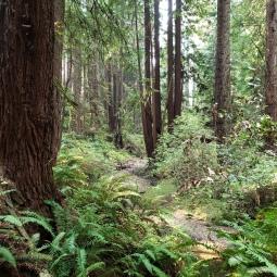 Streambed through Ferns & Trees