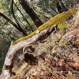 20201114 Annadel Mossy Fallen Logs
