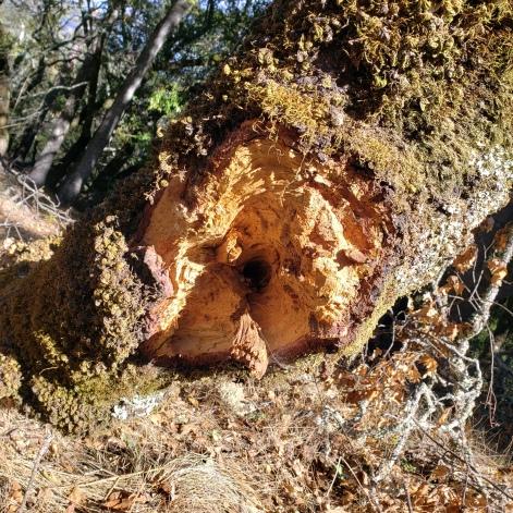 Annadel Disturbed Tree