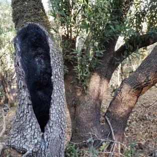 Annadel Trunk & Tree