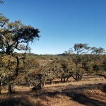Scrub Oak & Mt StHelena
