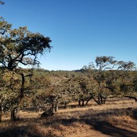 Scrub Oak & Mt St Helena