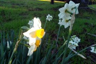 20210118 Jonquils at Olompali 1