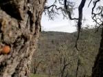 Acorn Woodpecker Tree2