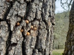 Acorn Woodpecker Tree3