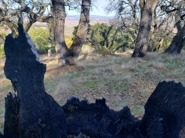 Olompali Burned Tree 3