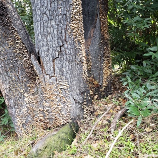 Burned Trunk w Mushroom Growth